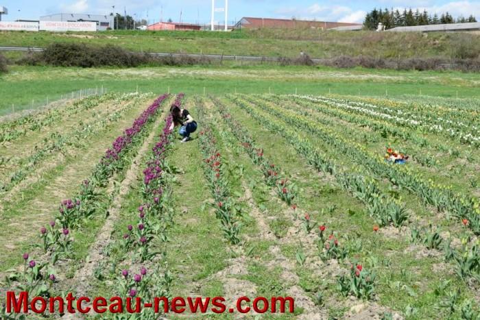 tulipe 1504162