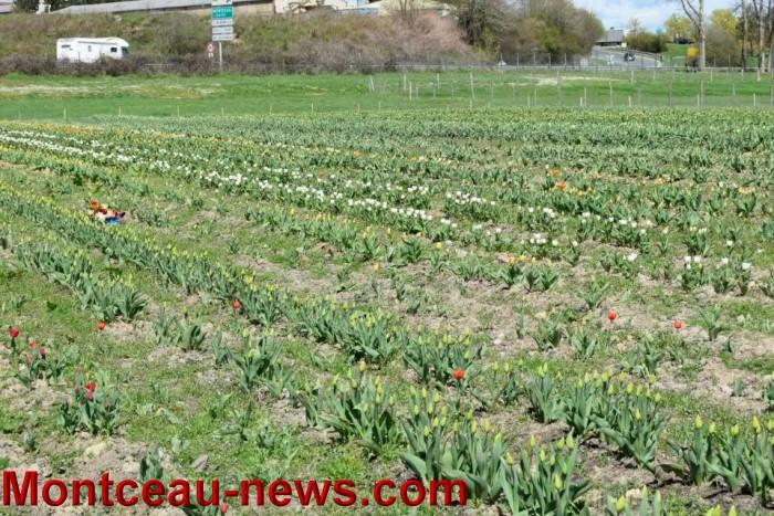 tulipe 1504163