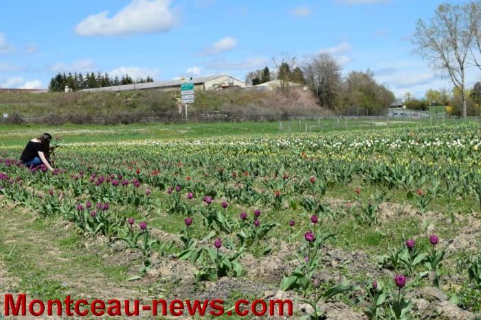 tulipe 1504164