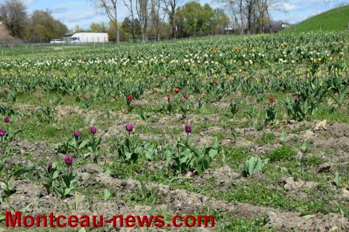 tulipe 1504165