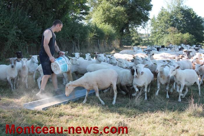 mouton-1109162