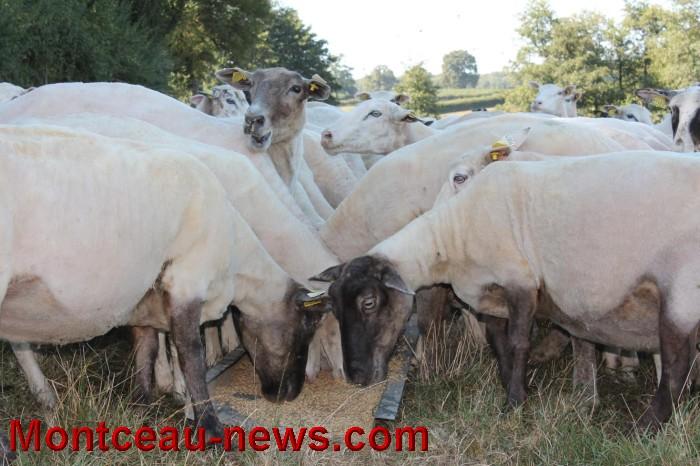 mouton-1109165