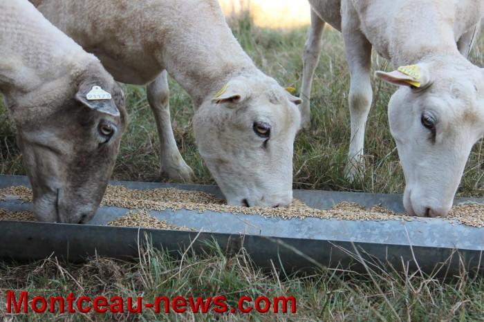mouton-1109166