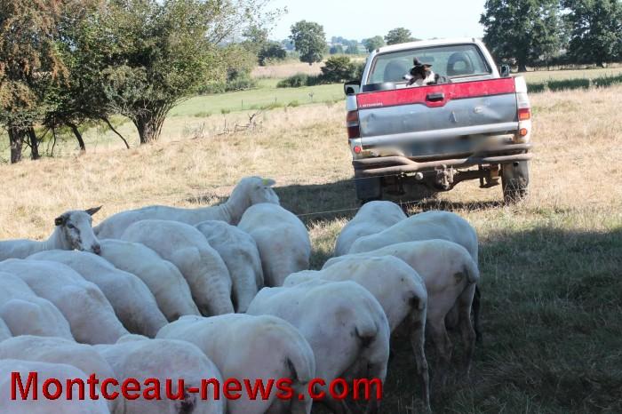 mouton-1109167