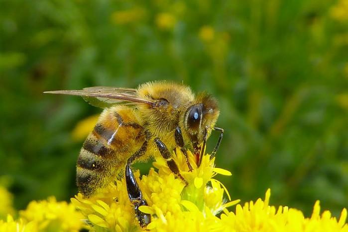 abeille-1109162