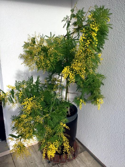 Mimosa 110318