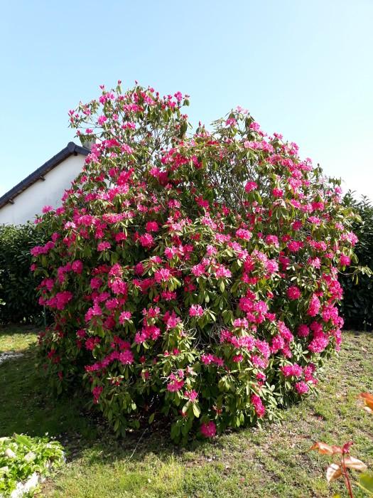 Francette Bordet letruce site web flaurs rhododendron giant Montceau-news.com 1405191