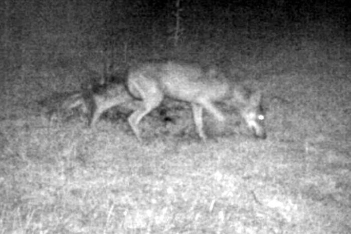 Confirmation de présence d'un loup dans le Charolais